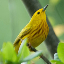 Yellow Warbler at Footbridge Marsh