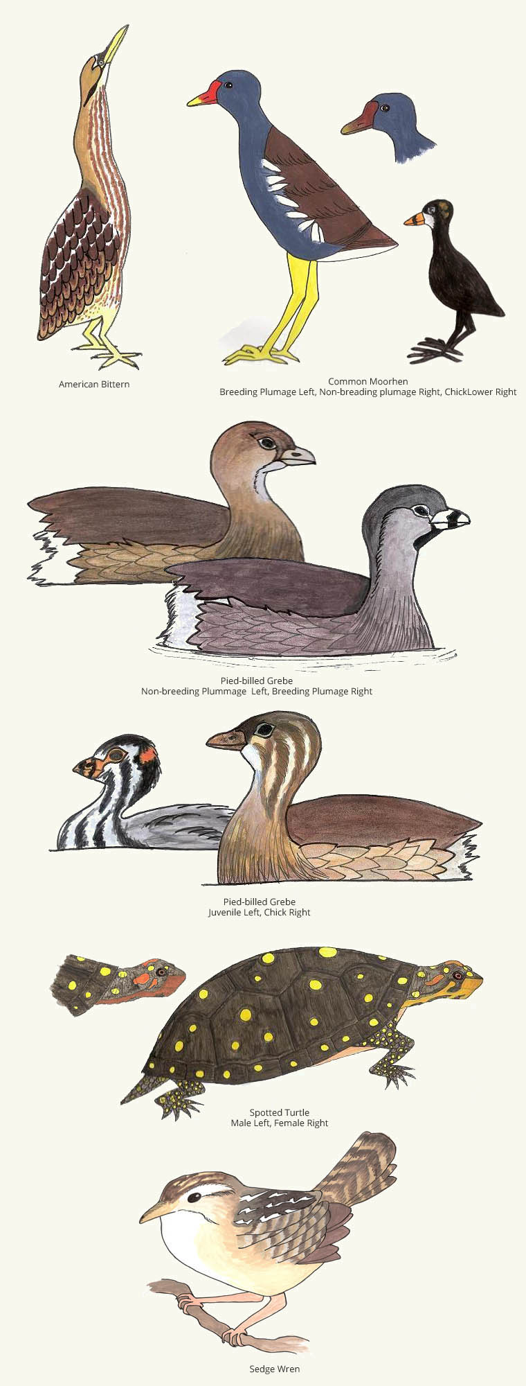 Rare Species at Assabet River NWR. Illustrations by Sohini Marjadi